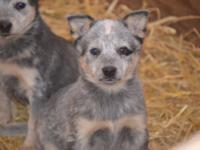 Litter of Blue Heeler pups, registered, 2nd vaccines,