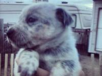 Blue heeler puppies male & females $200 tails are not