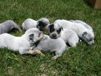 blue heeler puppies born 5-17-15. 3 males and 3 females