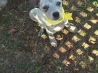 4 blue heelers left! We have been breeding blue heelers
