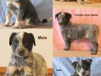 Really nice young puppies! Blue Heelers - 1st shots and