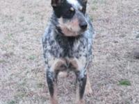 CKC Blue Heeler young puppies, 8 weeks old on November