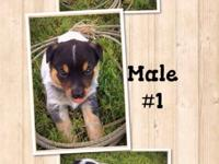 Blue Heeler pups almost ready for their furever