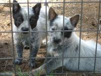 BLUE HEELER PUPPIES READY NOW MALES $200 / FEMALES