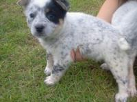 We SIMPLY have (1) attractive LADY Blue Heeler puppy