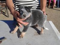 Perfect little blue heeler young puppies! Now ready for