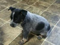 Blue heeler puppies for sale. 4 boy available. Tails