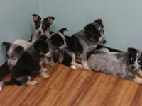 I have 4 blue heeler puppies 2 boys & 2 girl's about 12