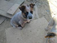I have 6 blue heelers (australian cattle dogs) pups