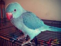 Blue Indian Ringneck, Unsure of sex, A few months old,