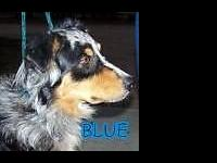 This is Blue. he is a blue Merle he is 4 years old