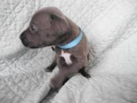 We have ten Blue Lacy puppies! Lacy dogs are hunters,