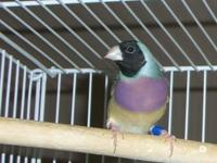 I currently have three blue back Lady Gouldian finches