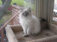 Beautiful blue lynx point Ragdoll kitten, male, first