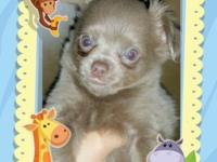 Long hair blue male chihuahua. Playful lil guy. Comes