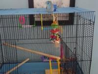 3 months old baby male parrotlet He is hand feed and