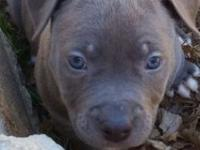 I have one blue male pit bull left. He is soild blue