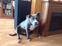 Blue male pit bull, neautered, house trained, well