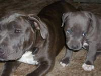 We have 1 male blue pit puppy left. he is 9 wks we were