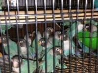 I have 26 young Blue Mask Love Birds for sale. I do not