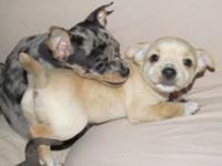 I have five 8 week old chihuahua puppies looking for