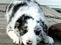 Rocky is a lovely Blue Merle Border Collie. He is