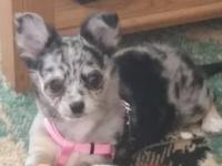 She is a female blue Merle long hair chihuahua. Born on