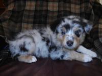 CKC registered. Australian Shepherd puppy. This fun