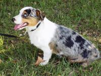 Registered Blue Merle Male Augie (Corgi x Mini Aussie