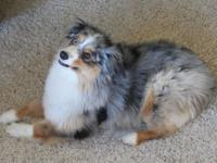 Beautiful Blue Merle Mini Aussie, 1 1/2 years old,