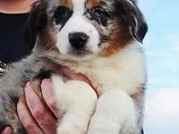 Registered Mini Aussie Pups for sale. FIND YOUR NEW
