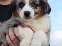 Registered Mini Aussies for sale. FIND YOUR NEW