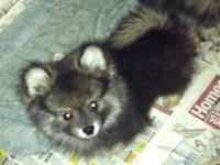 1 male blue Merle Pomeranian looking for his forever