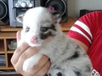 I have 4 blue merle puppies the first 2 pics are