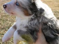 I have one purebred toy Australian shepherd puppy