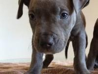 Beautiful pure breed blue nose pups for rehoming!! 6