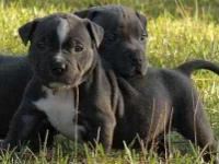 Animal Type: Dogs Breed: Pitbull Blue nose American