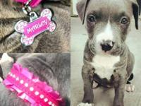 BLUE NOSE 3 MONTH OLD PIT BULL (MUST SELL TODAY) BLUE