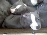 Blue Nose Pit Bull /American Bulldog Puppy Hello i have