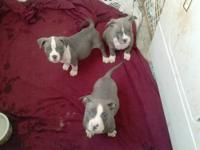 Blue Nose Pit Bull /American Bully Puppy Hello i have