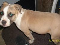 Beautiful blue nose purebred pit bull female puppy for
