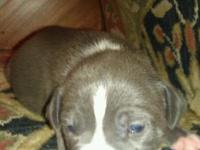 Description blue nose pitbull puppies born on black