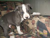 Beautiful blue nose purebred pit bull puppies for sale,