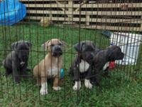 2 male 2 female puppies for sale. First shots given.