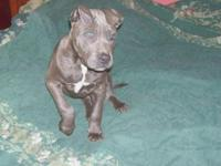 Animal Type: Dogs A boys and girl blue nose pit bull