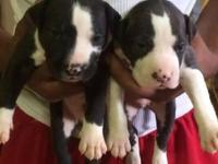 I have Both Large Bone Male and Female pups for sale,