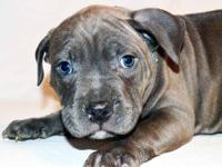 Beautiful Blue Nose Pit Bull Puppies. Eight weeks old.