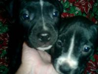 Beautiful Blue Nose Pit Bull Puppies. Seven weeks old.