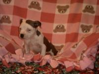 Blue Nose Pit Bull Puppies need forever homes. APBR