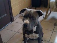 2yr blue nose pit bull, we need to find a good home for